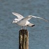 Black-headed Gull, Chroicocephalus ridibundus 6188