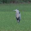 Grey Heron, Ardea cinerea 5887