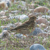 Meadow Pipit, Anthus pratensis 5897