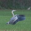 Grey Heron, Ardea cinerea 5879