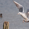 Black-headed Gull, Chroicocephalus ridibundus 6260