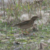 Meadow Pipit, Anthus pratensis 5894