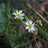 Ox-eye Daisy, Chrysanthemum leucanthemum 5738