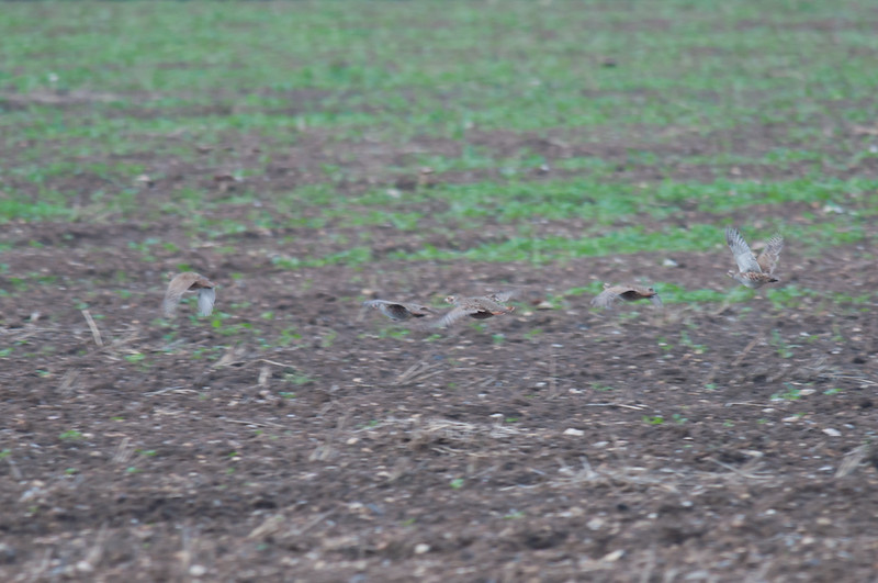 Grey Partridge, Perdix perdix 5672