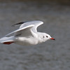 Black-headed Gull, Chroicocephalus ridibundus 6037
