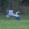 Grey Heron, Ardea cinerea 5874
