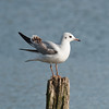 Black-headed Gull, Chroicocephalus ridibundus 6201