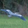 Grey Heron, Ardea cinerea 5873