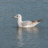 Black-headed Gull, Chroicocephalus ridibundus 6190