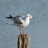 Black-headed Gull, Chroicocephalus ridibundus 6200