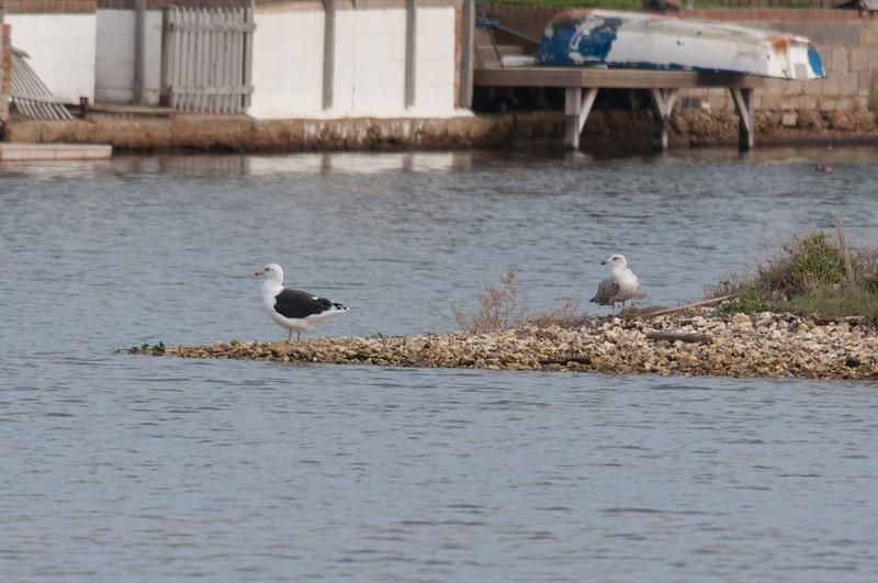Great Black-backed Gull, Larus marinus 6524