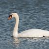 Mute Swan, Cygnus olor 6225