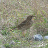 Meadow Pipit, Anthus pratensis 5896