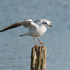 Black-headed Gull, Chroicocephalus ridibundus 6199