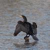 Cormorant, Phalacrocorax carbo 6520