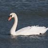 Mute Swan, Cygnus olor 6228