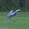 Grey Heron, Ardea cinerea 5877