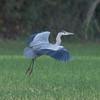 Grey Heron, Ardea cinerea 5875