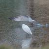 Little Egret, Egretta garzetta 6501