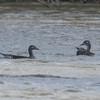 Mandarin Duck, females, Aix galericulata 6175