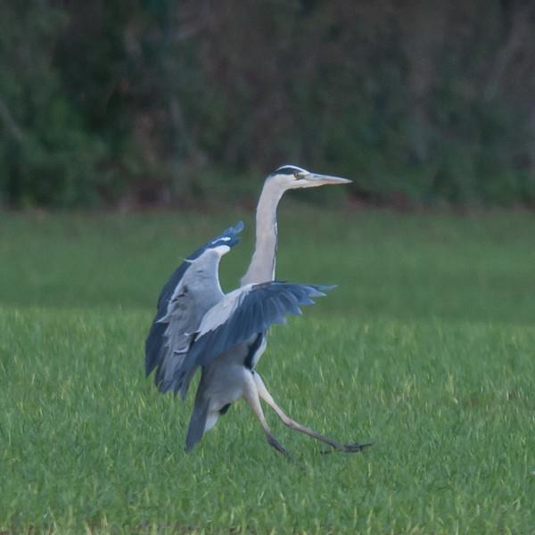 Grey Heron, Ardea cinerea 5878