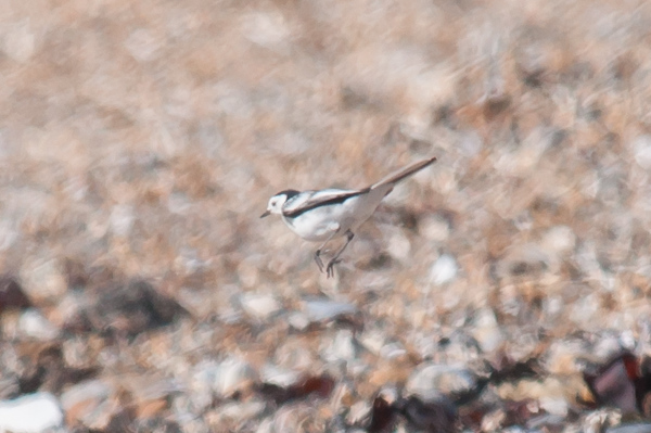 Pied Wagtail, Motacilla alba 5868