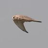 Kestrel, Falco tinnunculus 5717