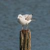 Black-headed Gull, Chroicocephalus ridibundus 6189