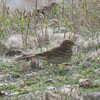 Meadow Pipit, Anthus pratensis 5895