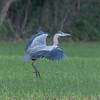 Grey Heron, Ardea cinerea 5876