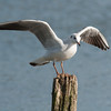 Black-headed Gull, Chroicocephalus ridibundus 6204
