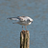 Black-headed Gull, Chroicocephalus ridibundus 6181