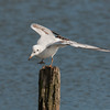 Black-headed Gull, Chroicocephalus ridibundus 6187