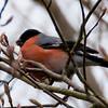Bullfinch, Pyrrhula pyrrhula 0001