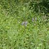 Nettle-leaved Bellflower, Campanula trachelium 7160
