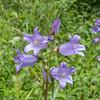 Nettle-leaved Bellflower, Campanula trachelium 7155