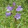 Nettle-leaved Bellflower, Campanula trachelium 7154