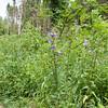 Nettle-leaved Bellflower, Campanula trachelium 7161