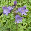 Nettle-leaved Bellflower, Campanula trachelium 7159