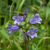 Nettle-leaved Bellflower, Campanula trachelium 2505