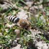 Ivy Bee, Colletes hederae 3029