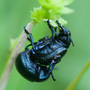 Bloody-nosed Beetles mating, Timarcha tenebricosa 7848