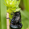 Bloody-nosed Beetles mating, Timarcha tenebricosa 7855