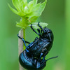 Bloody-nosed Beetles mating, Timarcha tenebricosa 7853