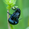 Bloody-nosed Beetles mating, Timarcha tenebricosa 7850