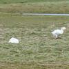 Domestic Goose, Anser anser domesticus 2856