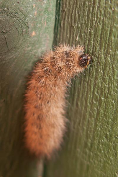 White Ermine larva (2nd instar), Spilosoma lubricipeda 8168
