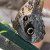 Caligo memnon, Owl 1220721