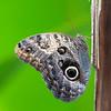 Caligo memnon, Owl 3440