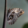 Caligo memnon, Owl 3522